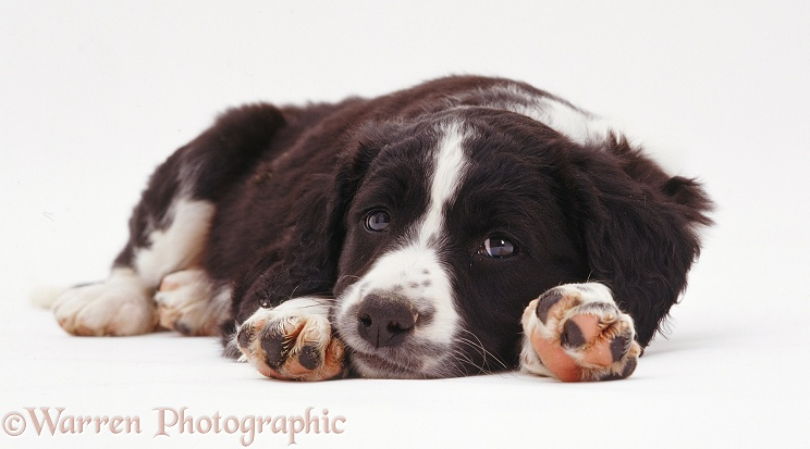 Border Collie x Spaniel puppy with its chin on the ground, white background