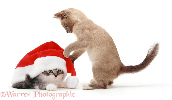 Kittens with Father Christmas hat, white background