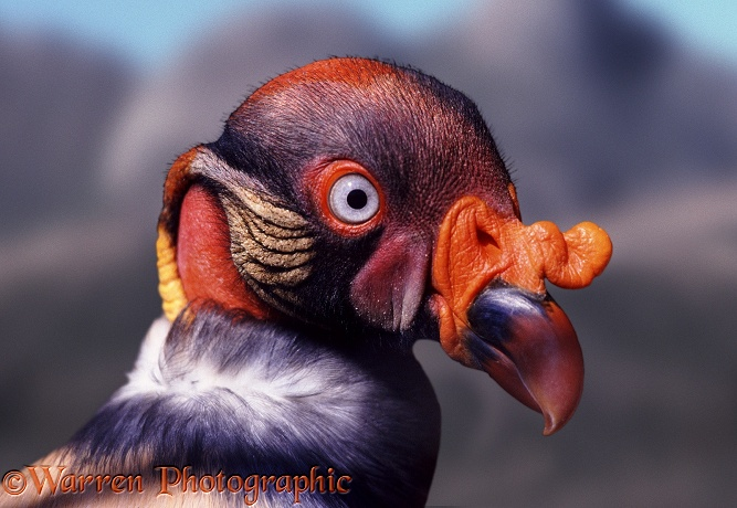 King Vulture (Sarcorhamphus papa).  South & Central America