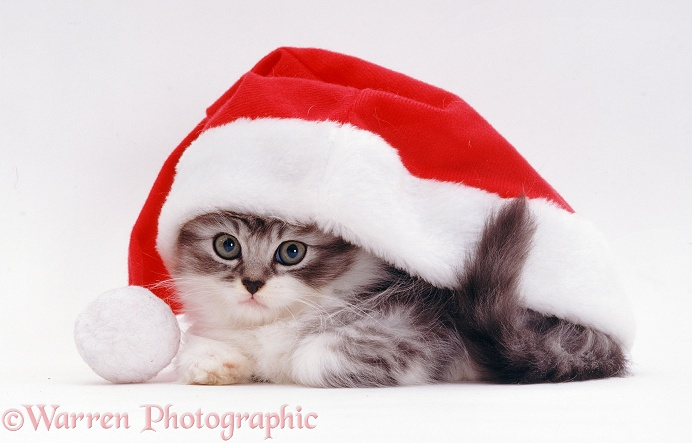 Kitten in a Father Christmas hat, white background