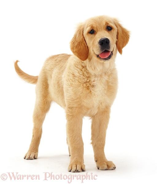 Dog: Golden Retriever ...