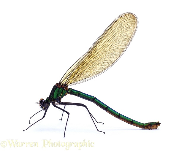 Beautiful Demoiselle Damselfly (Calopteryx virgo) female.  Europe, white background