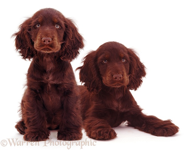 Chocolate Cocker Spaniel pups, 14 weeks old, white background