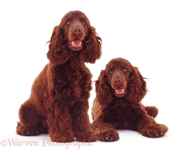 Chocolate Cocker Spaniels, white background