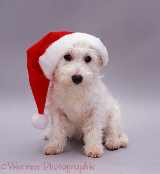 West Highland White Terrier pup Amber, 5 months old, in a Christmas hat