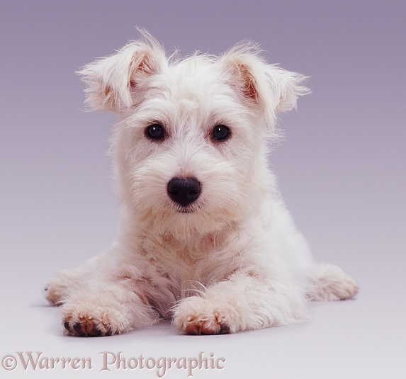 West Highland White Terrier pup Amber, 5 months old, lying down with head up