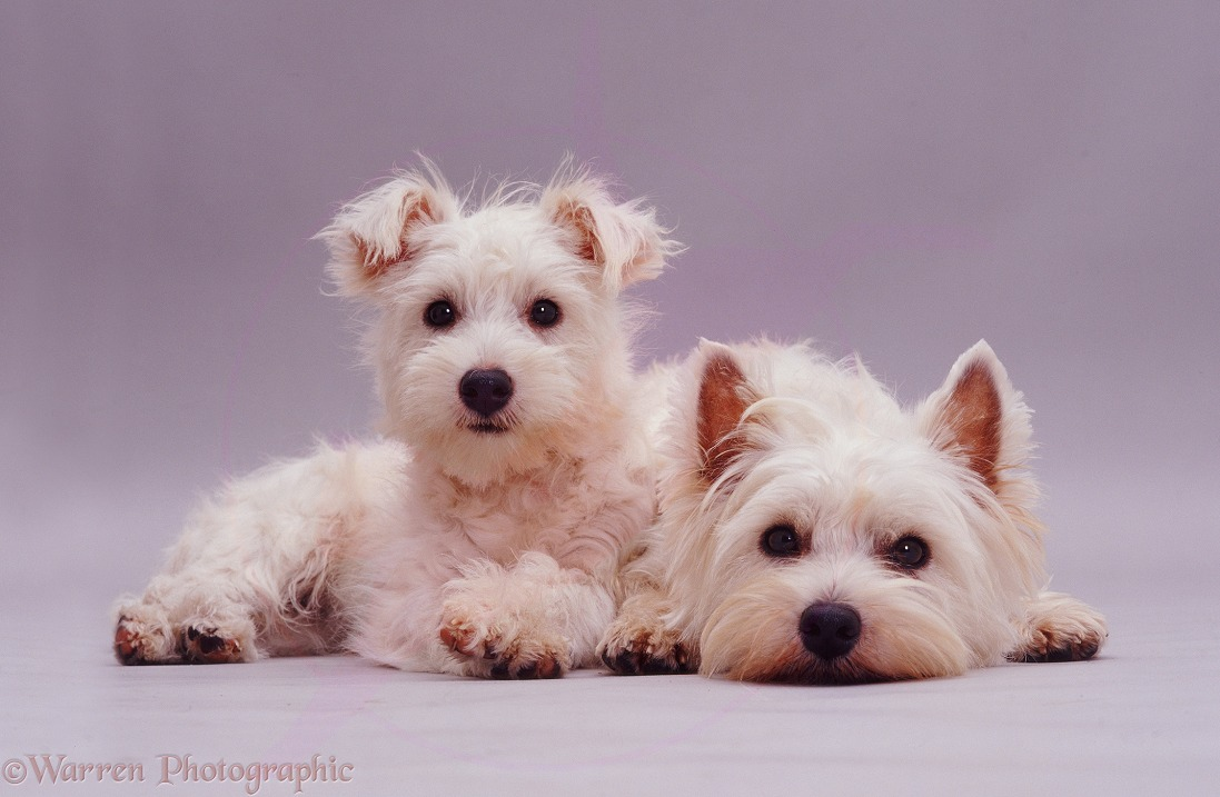 West Highland White Terrier mother Fizz and pup Amber lying down