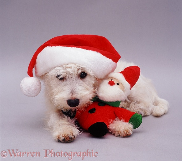 West Highland White Terrier pup Amber, 5 months old, in a Father Christmas hat