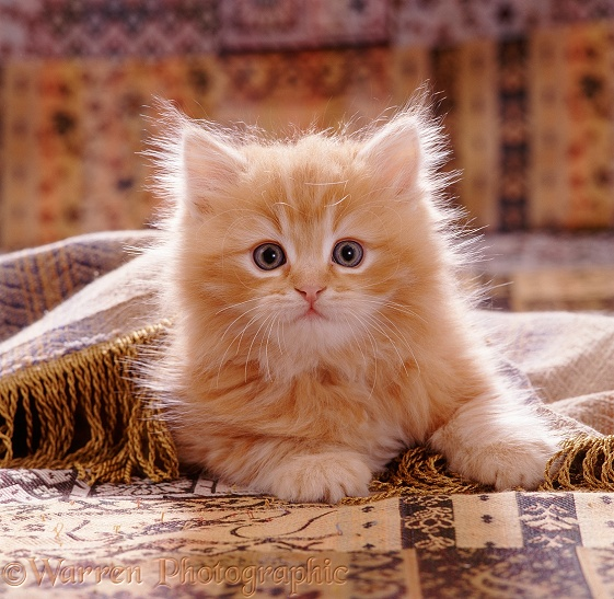 Portrait of red Persian-cross kitten, 8 weeks old, (Cosmos x Specs) playing under a fringed cover