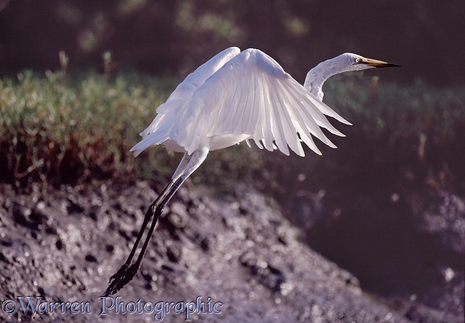 Great White Egret (Egretta alba) taking off from a mud bank.  Worldwide in warm climates