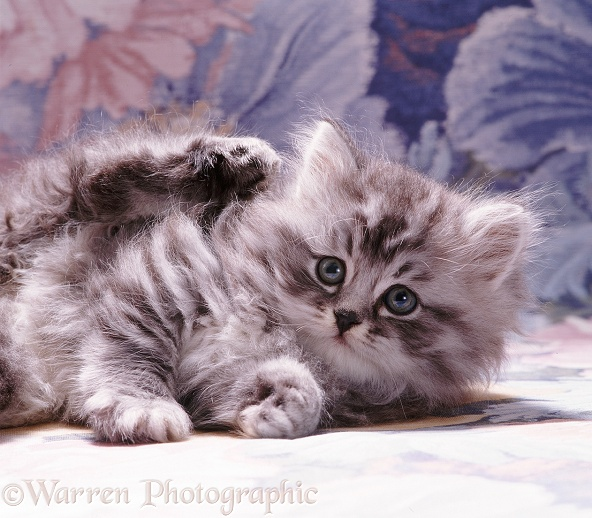 Portrait of fluffy silver tabby kitten (Cosmos x Specs), 7 weeks old