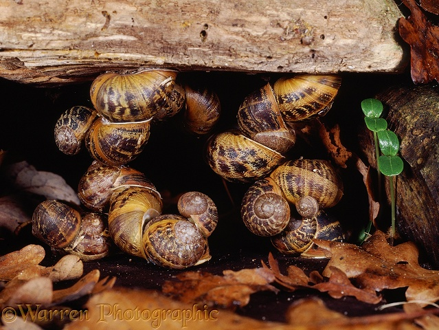 Garden Snails (Helix aspersa) hibernating in a sheltered alcove beneath a log.  Europe