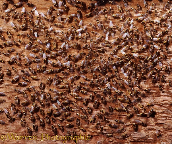 Yellow Swarming Flies (Thaumatomyia notata) hibernating in an attic