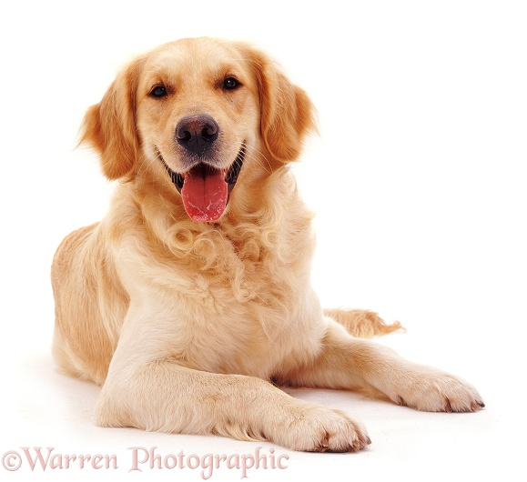 Golden Retriever dog, Barney, lying down, with head up, white background
