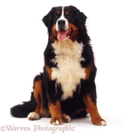 Bernese Mountain Dog bitch, 10 months old, white background