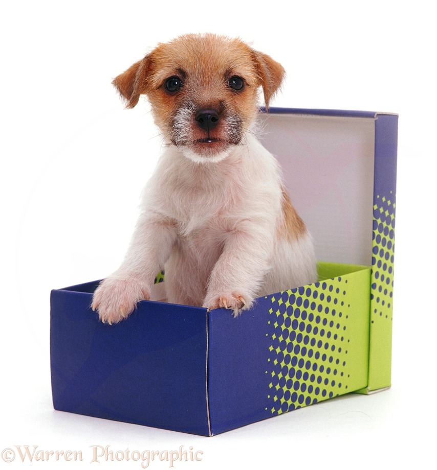 Jack-in-a-box - Jack Russell Terrier pup Gina in a shoe box, white background