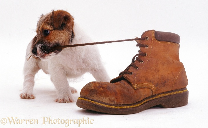 Jack Russell Terrier pup Geri pulling a shoelace, white background
