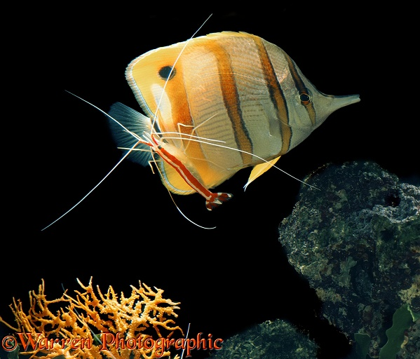 Cleaner Shrimp (Hippolysmata grabhami) cleaning Copper Band Butterflyfish (Chelmon rostratus)