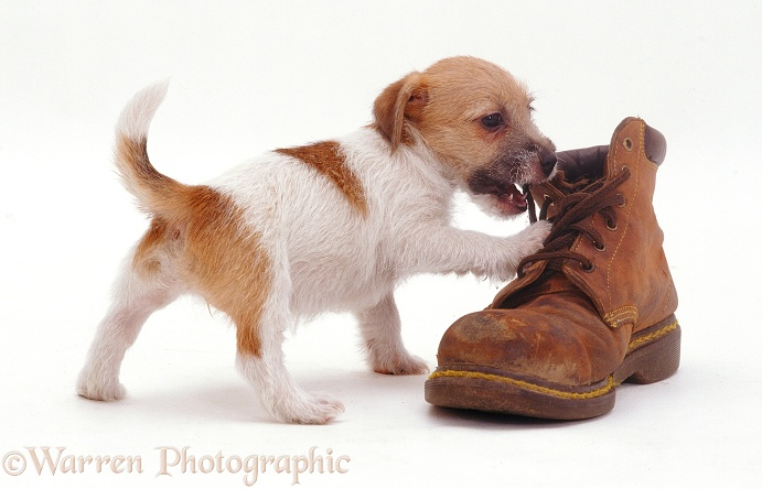 Jack Russell Terrier pup Gina inspecting a shoe, white background