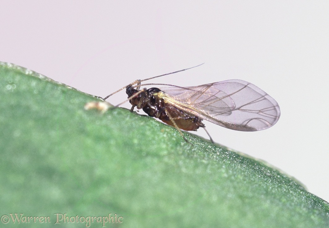 Peach/potato Aphid on a leaf