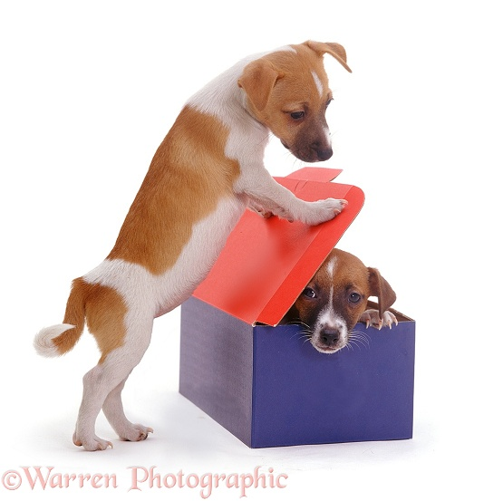 Jack Russell Terrier pups, Gertie & Gary, playing with a cardboard box, white background
