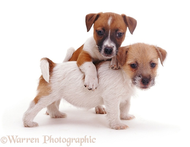 Jack Russell Terrier pups, Gary & Geri, white background