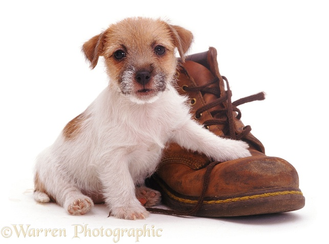 Jack Russell Terrier pup Gina with a shoe, white background