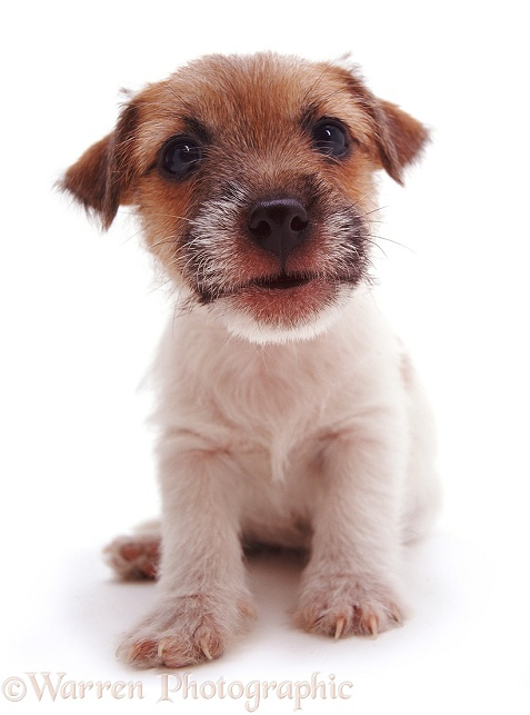 Rough-coated Jack Russell Terrier pup Gina, white background