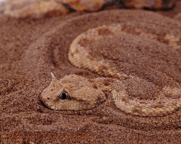 Desert Horned Viper (Cerastes cerastes) showing night adapted eye.  North Africa, Asia