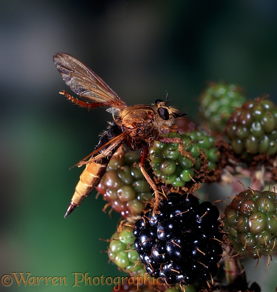 Hornet Robber Fly (Asilus crabroniformis) female cleaning wings with hind legs