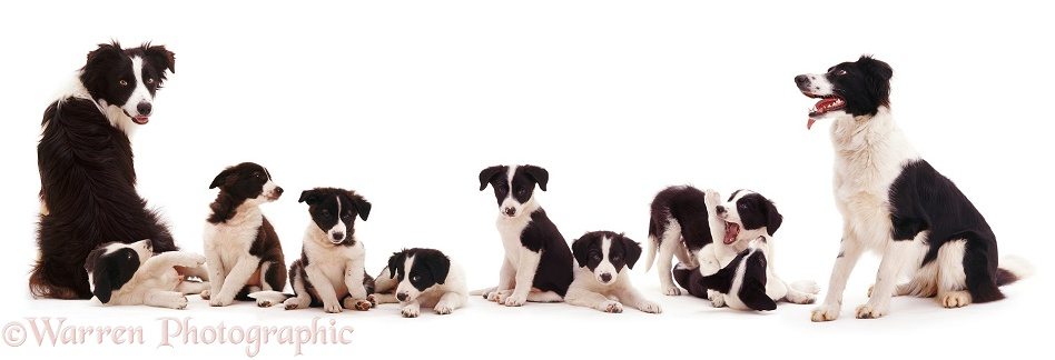Black-and-white Border Collie family Tai and Phoebe with pups, white background
