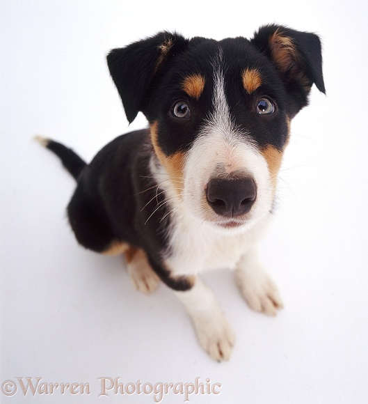 Border Collie pup Horace looking up, white background