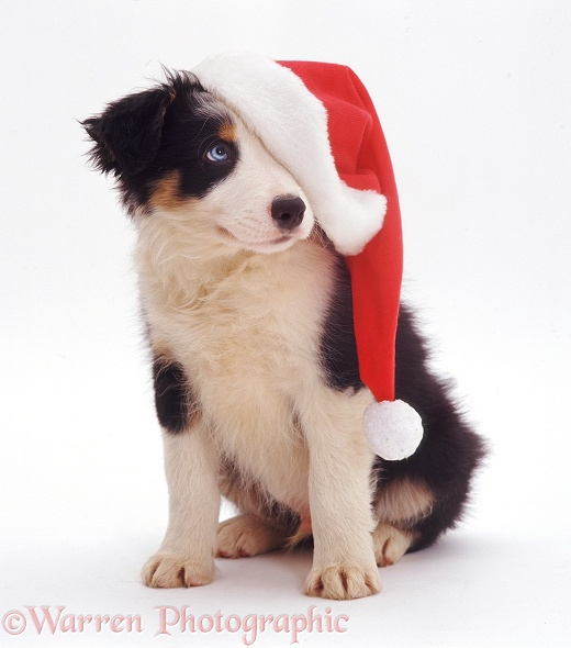 Border Collie pup Ishmael wearing a Santa hat, white background