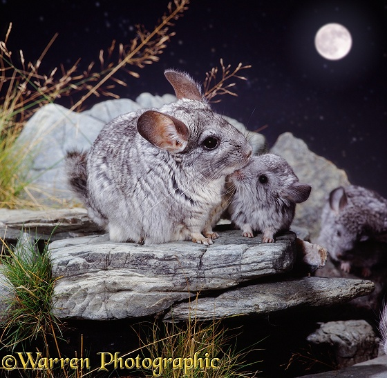 Chinchilla (Chinchilla lanigera) mother and baby