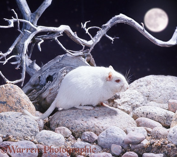 Albino gerbil on pebbles at night