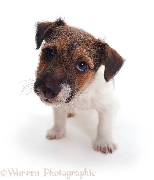Jack Russell Terrier pup Geri, white background