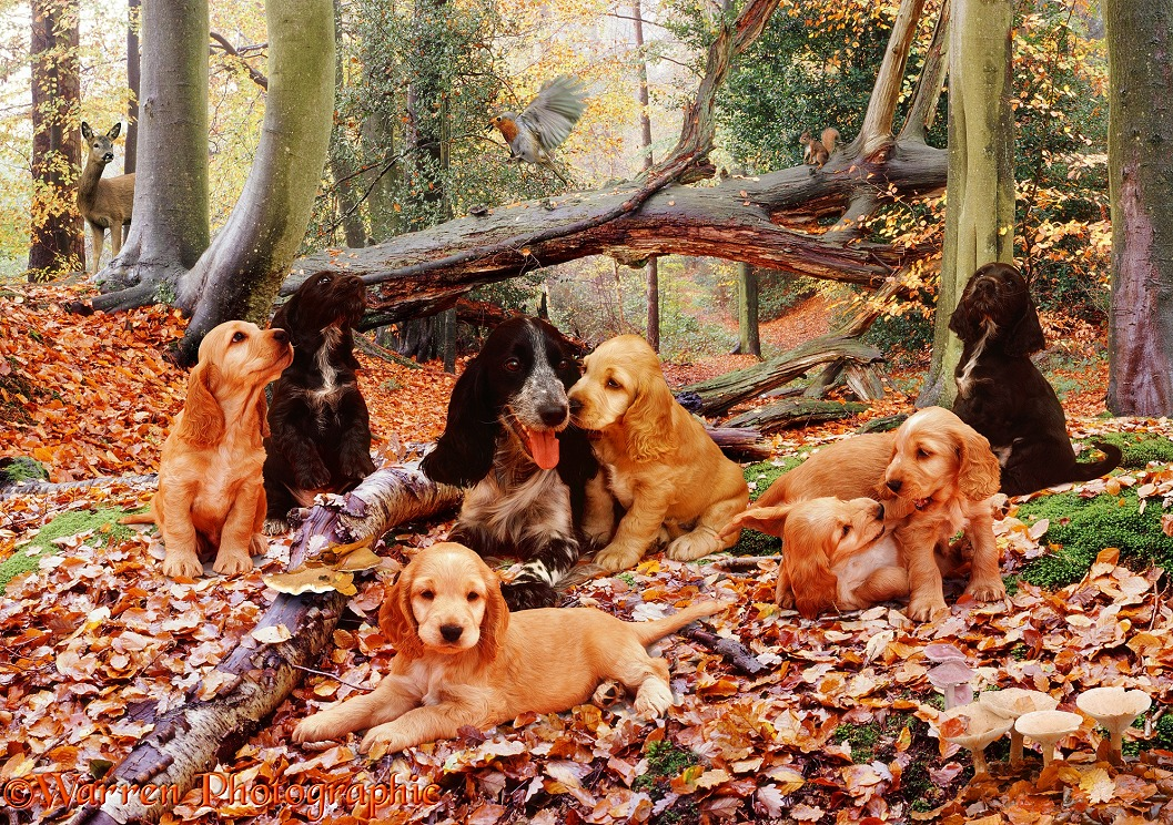 Cocker spaniel jigsaw