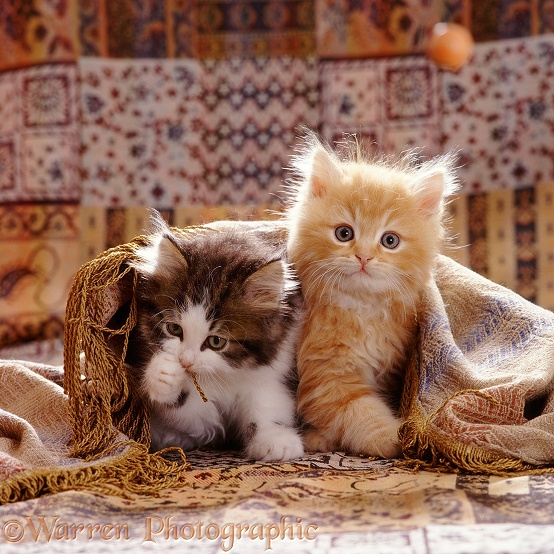 Portrait of red and Tabby-and-white Persian-cross kittens (Cosmos x Specs). 8 weeks old