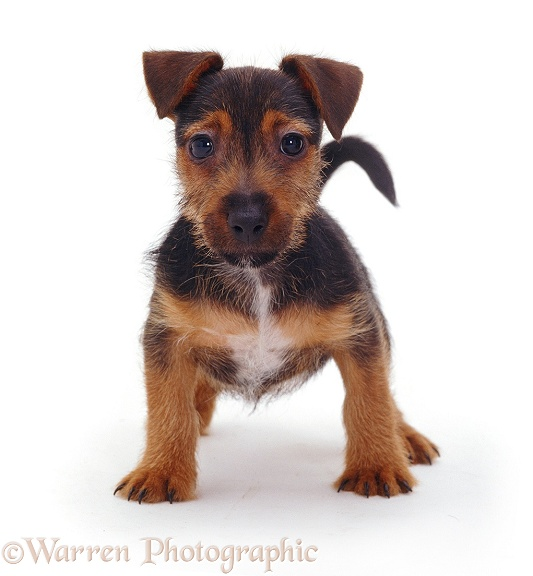 Black and tan Jack Russell Terrier pup Gizmo, white background