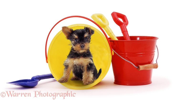 "Yorkshire Terrier pup ""waiting to go on holiday"", white background"