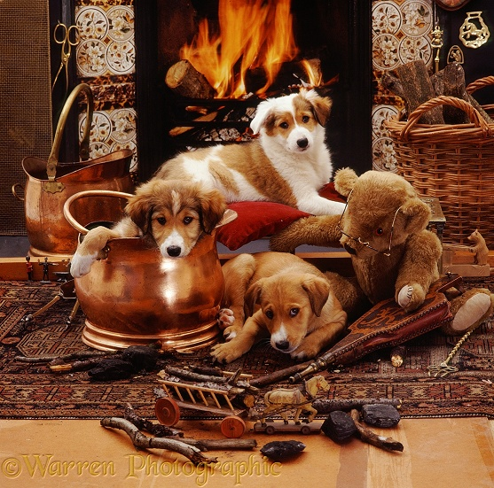 Three Border Collie pups, 9 weeks old, with brown teddy bear in front of Victorian fireplace (Jolly in copper coal-scuttle. Bubbles on the cushion. Dylan chewing sticks. With antique toy horse and wagon loaded with firewood)