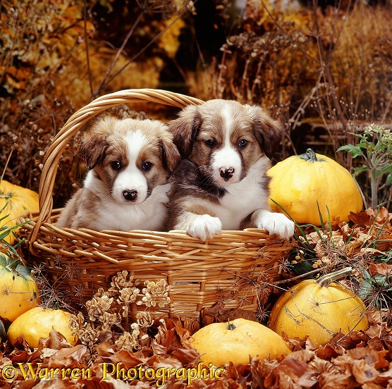 Two sable-and-white Border Collie pups, 6 weeks old, in a basket, with squashes and autumn leaves