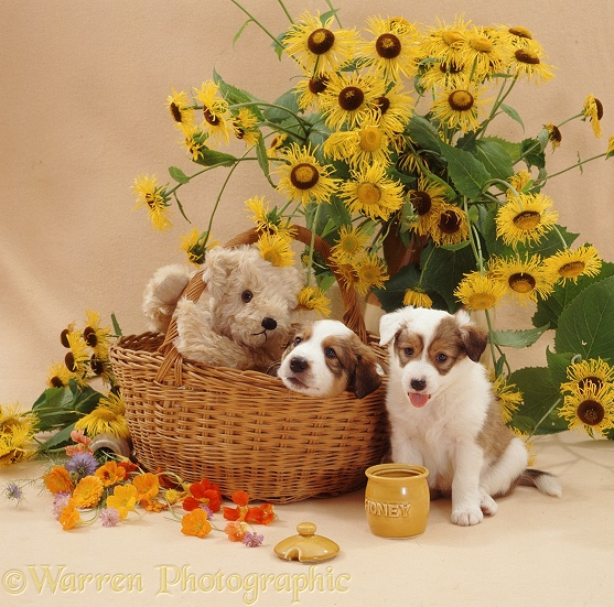 Border Collie pup Bubbles has been licking out the honey pot, watched by brother Juke, 5 weeks old, and cream teddy bear in the basket with yellow daisies