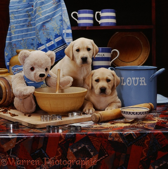 Two Yellow Labrador puppies, 6 weeks old, in a kitchen with teddy bear