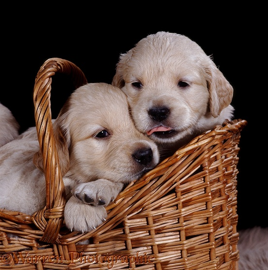 Golden Retriever pups, 1 month old, in a wicker basket