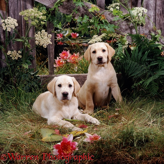 Two Yellow Labrador Retriever puppies, 10 weeks old, have been through the fence to pick waterlilies from the pond