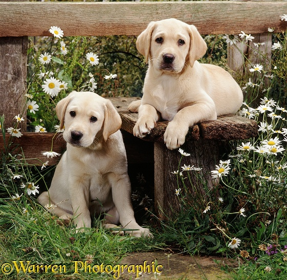 Two Yellow Labrador Retriever puppies, 9 weeks old, at a stile