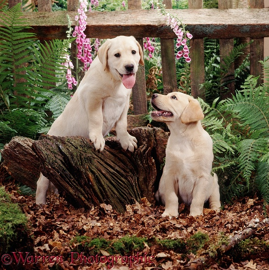 Two Yellow Labrador Retriever puppies, 8 weeks old, have been playing on a stump in the woods