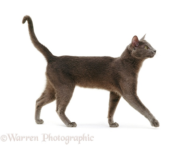 Blue Tonkinese male cat Del walking across, white background