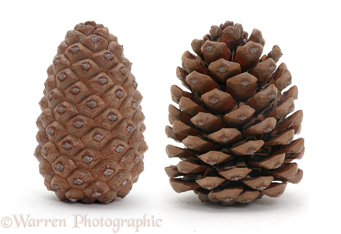 Pine cone open and closed, white background